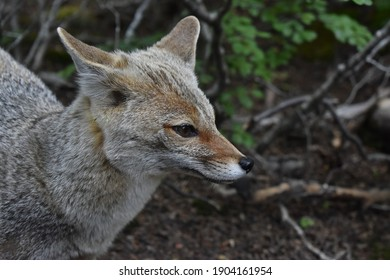 Grey fox in the woods. Forest in Argentina