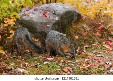 Grey Foxes (Urocyon cinereoargenteus) Sniff About in Autumn Leaves - captive animals