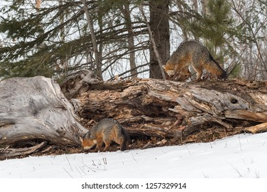 Grey Foxes(Urocyon cinereoargenteus) Sniff at Log - captive animals