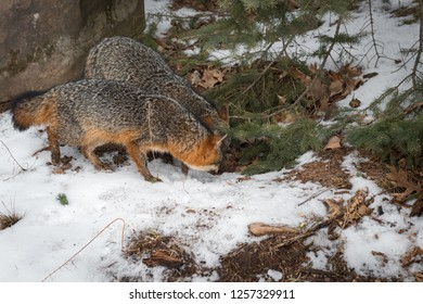 Grey Foxes(Urocyon cinereoargenteus) Sniff Under Pine Branches - captive animals