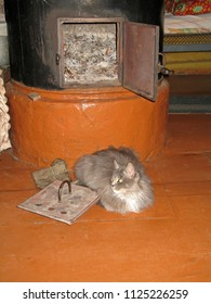 Grey furry cat is heated on the wooden floor near the village metal stove on a cold winter evening in a log Russian house
