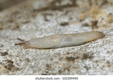 Grey Garden Slug (Deroceras reticulatum)