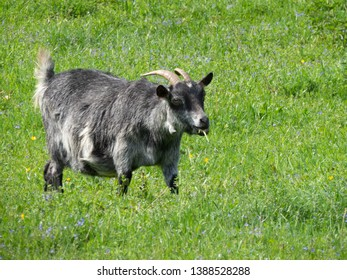 Grey goat grazing on lush green grass, half-turned towards camer