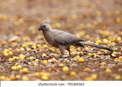 The grey go-away-bird (Corythaixoides concolor), also known as grey lourie or grey loerie sitting on the floor between the marula fruit
