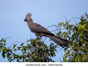 A Grey Go-away-bird sitting on a branch at the Bwabwata Nationalpark in Namibia during summer