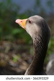 Grey goose (Anser anser) in Denmark