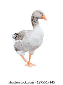 Grey goose, isolated on white background