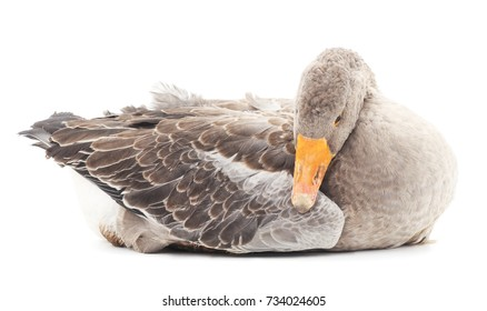 Grey goose isolated on a white background.
