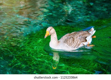 Grey Goose Swimming in the Lake
