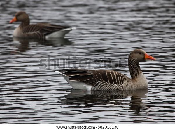 Grey goose swimming in a lake