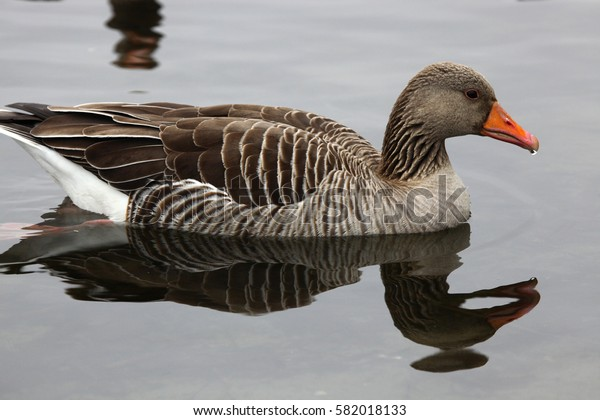 Grey goose swimming in a lake
