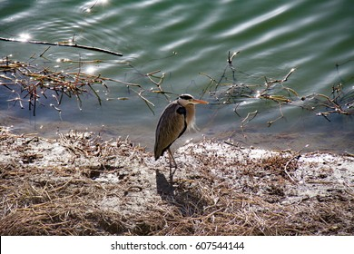 Grey great heron