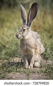 A grey hare in the California bush