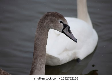 Grey head of the swan. The white swan and the lake on the background.