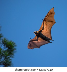 A Grey Headed Flying Fox at dawn near the Adelaide Botanic Gardens (just outside the zoo) in Adelaide, South Australia.