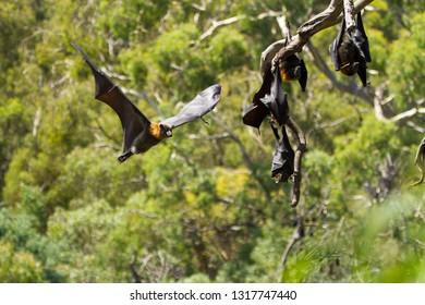 Grey Headed Flying Fox in Mid Flight