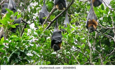 Grey headed flying fox, Pteropus poliocephalus