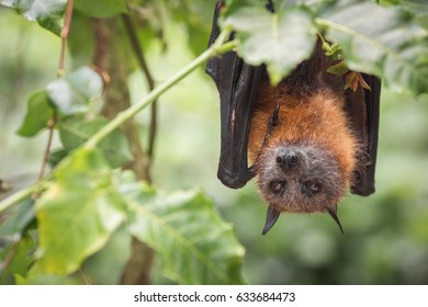 A Grey Headed Flying Fox at a wildlife rescue centre in Kuranda, Queensland.  Grey Headed Flying Foxes are actually native to southern parts of Australia, and are keystone pollinators.