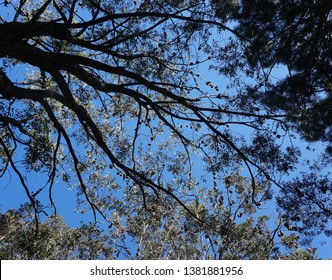 Grey headed flying foxes group roosting in paperbark tree