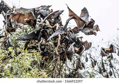 Grey headed flying foxes in Sydney