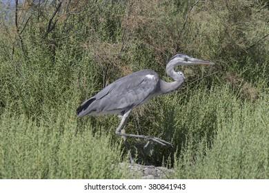 grey heron - Shutterstock ID 380841943