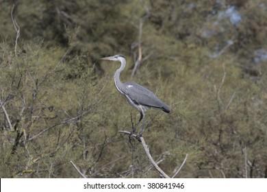 grey heron - Shutterstock ID 380841946