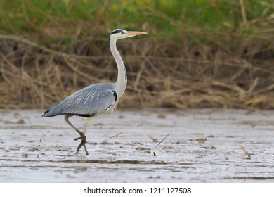Grey Heron (Ardea cinerea), adult walking in a dried out pond