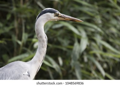 grey heron ardea cinerea bird