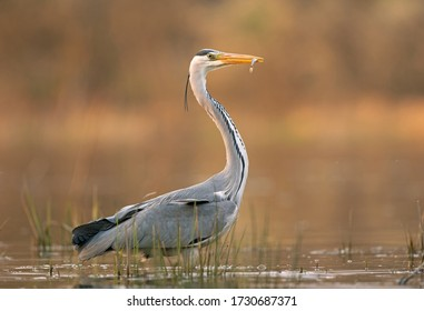 Grey heron (Ardea cinerea) catch the fish. Heron during hunt. Grey heron has a small fish in your beak