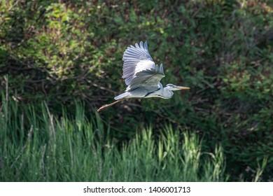 Grey heron (ardea cinerea) in Danube Delta, Romania