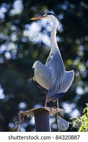 The Grey Heron (Ardea cinerea) drying his feathers in the sunset perched on a pile with tie rods.