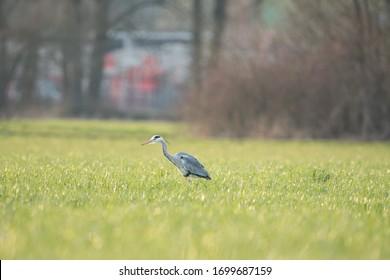 Grey heron (Ardea cinerea) feeding in field on worms and looking for food in Switzerland