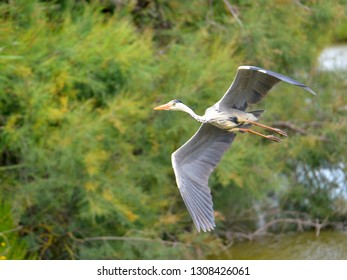 Grey heron (Ardea cinerea) in flight seen from below, in the Camargue is a natural region located south of Arles, France, between the Mediterranean Sea and the two arms of the Rhône delta