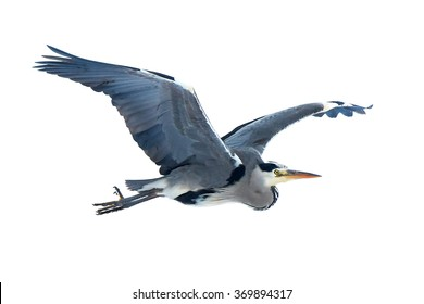 Grey Heron (Ardea cinerea) in flight isolated on a white background