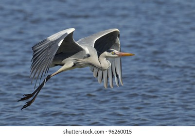 Grey Heron (Ardea cinerea) in flight, Kruger Park, South Africa