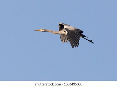 Grey heron (Ardea cinerea). Flying against blue sky.