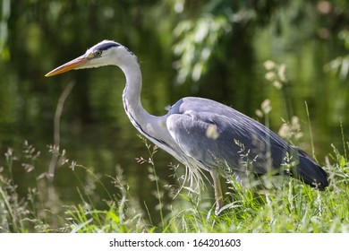 Grey heron  (Ardea cinerea) in grass closeup