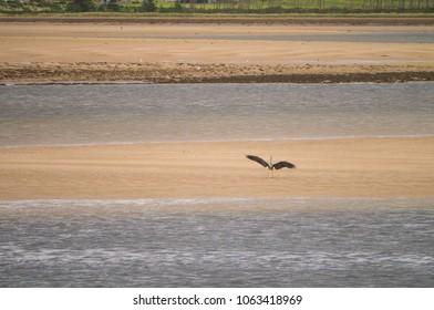 Grey Heron ( Ardea cinerea ) lands on a sand bank at Loch Fleet Sutherland Scotland UK