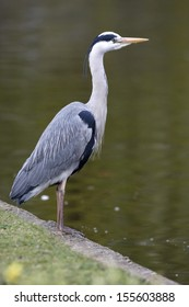Grey heron Ardea cinerea, London, spring