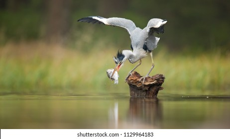 The grey heron (Ardea cinerea) is a long-legged predatory wading bird of the heron family, Ardeidae, native throughout temperate Europe and Asia and also parts of Africa.