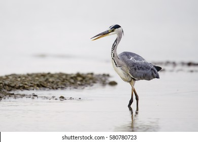 Grey heron Ardea cinerea looking at fish in shallow water