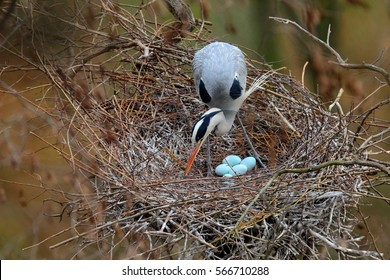 Grey heron, Ardea cinerea, in nest with five eggs, nesting time. Wildlife animal scene from nature. Spring nesting time with bird.
