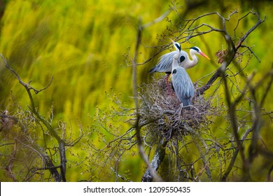 Grey heron (Ardea cinerea) on the nest. Sharp image of a bird with beautiful background colors