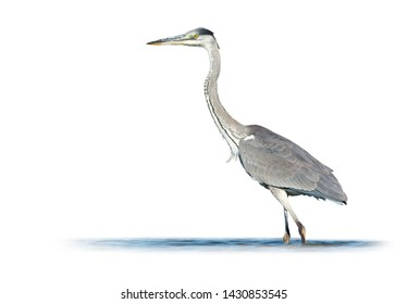 Grey heron (Ardea cinerea) on white background
