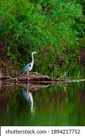 Grey Heron ou Ardea cinerea sur la rivière en pleine nature.