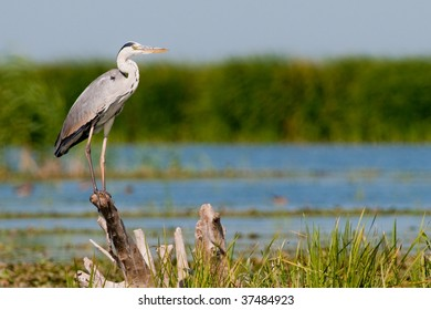 Grey Heron (Ardea cinerea) on a log