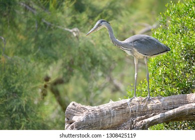 Grey heron (Ardea cinerea) perched in tree seen from profile, in the Camargue is a natural region located south of Arles, France, between the Mediterranean Sea and the two arms of the Rhône delta