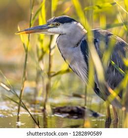 Grey heron (Ardea cinerea) portrait of wading bird looking for food seen through reed of wetland in Flanders Belgium