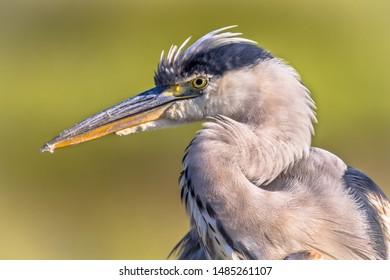 Grey heron (Ardea cinerea) portrait of wading bird looking for food with raised crest in wetland in Flanders Belgium on green background