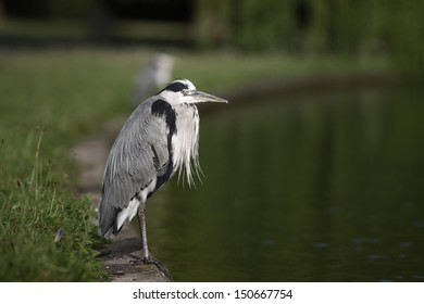 Grey heron, Ardea cinerea, Regents Park, London, July 2009